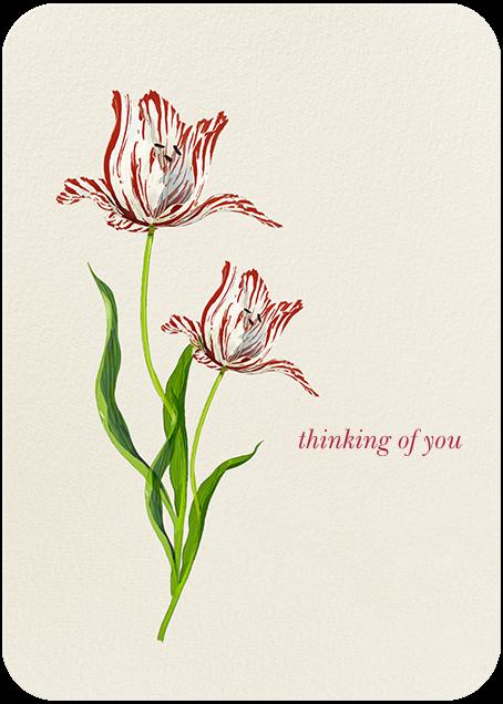Rembrandt Tulip - Felix Doolittle - Sympathy
